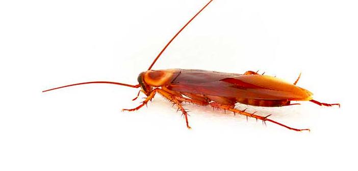 hamam-böceği-ile-doğal-yöntemlerle-mücadele