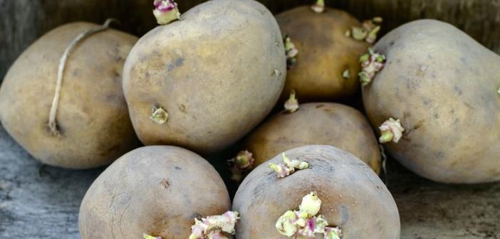 patates-filizlenmis