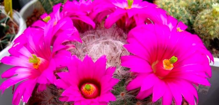 kaktus-cicegi