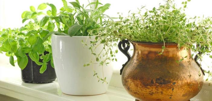 mutfak-bitkileri