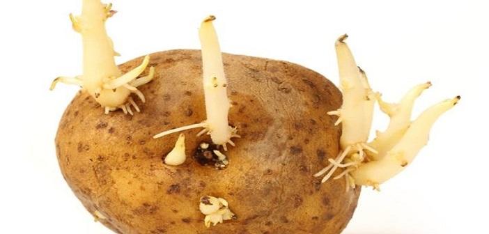 patates-filizi