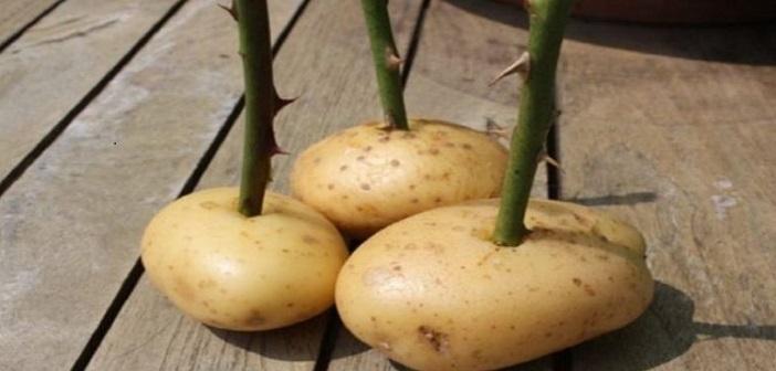 patates-gul-yetistirme