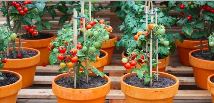 saksida-domates-yetistirmek